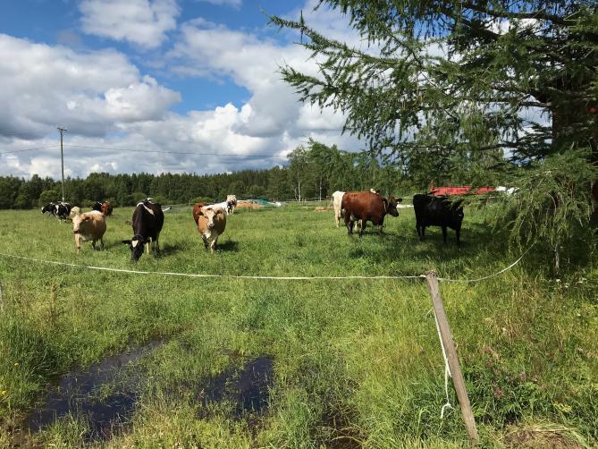 Lehmiä laitumella Ristijärvellä